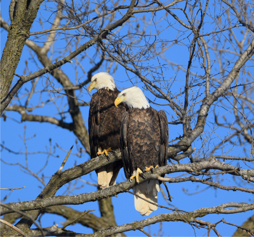 Two eagles looking down the river in Clinton County, Iowa