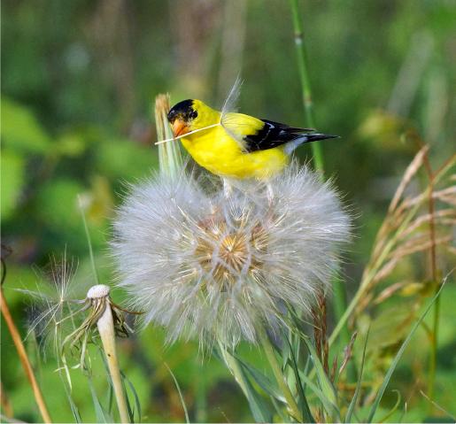 Yellow bird close-up