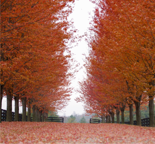 Fall picture of two lines of trees going red
